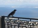 Cuervo pillado in fraganti disfrutando del panorama. Fotaza de Ada