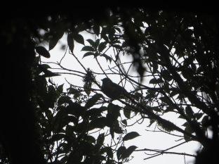 Escuchábamos un precioso cantar que provenía del árbol y voilà, lo encontramos!