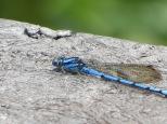 Y aquí empieza el repertorio de insectos que nos fuimos encontrando en nuestro trecking. Líbelula azul
