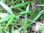 El Arenal - gusano peludo