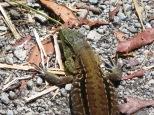 Primer plano de lagartija marrón y negra, ésta de piel más mate.