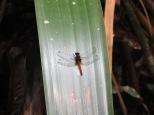 Pequeña libélula