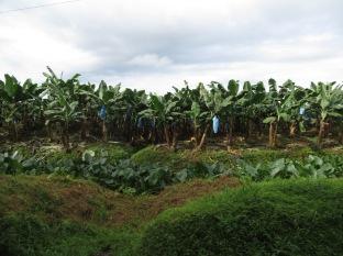 Plantaciones de plátanos, llegando a Puerto Pavona.