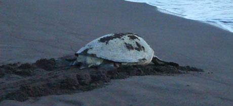 Foto de tortugueroinfo.com. Imagen preciosa de una tortuga volviendo al mar tras el desove.