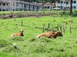 Vacas de relax ;)