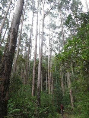 Creo que son los árboles más altos que hemos visto en la vida!!