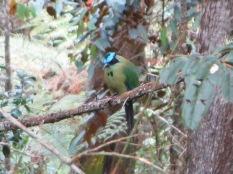 Tangara real, el típico pájaro del Parque Arví... te pillamos!