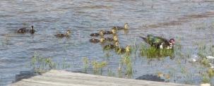 Comida romántica con vistas al lago. Desfile de patitos incluido!