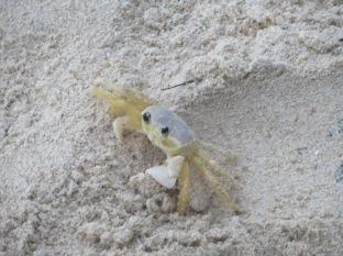 Este cangrejito nos da la bienvenida a Isla Barú