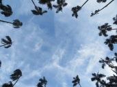 En pleno corazón de Cali se encuentran estas 127 palmeras
