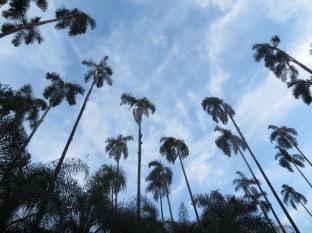 Estas espigadas palmeras son como un oasis en la ciudad