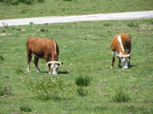 y los toros también. Estos no eran muy grandes!