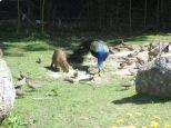 El ratón gigante, bien integrado con las aves. Y bien alimentado!