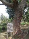 Uno de los capítulos más horrorosos de la visita. El killing tree, donde mataban a los bebés de manera brutal. Descubrieron cabellos, sangre y trozos de cráneo en la corteza del árbol. Posteriormente confesaron que cogían a los bebés de las piernas y los estampaban contra el árbol, era más barato que utilizar balas...
