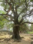 De este árbol colgaban unos potentes altavoces que, junto con el ruido del generador eléctrico, servía para camuflar los gritos de los prisioneros que llegaban y eran ejecutados en Choeung Ek