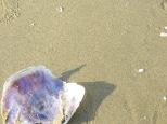 Encontramos varias conchas preciosas, casi enteras y nacaradas en su interior