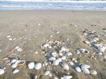 Además había muchísimas conchas enteras, sobre todo de vieiras. Nos llevamos algunas de recuerdo, a ver lo que nos duran.
