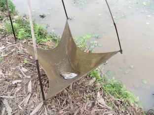 Nuestro guía sacó una de las trampas colocadas en el pantanal y... premio, había un pescado!