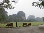 De camino al bus,.., más vacas! Ya empezamos a acostumbrarnos a tenerlas tan cerca ;)
