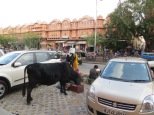 En la India las vacas no pasan nada de hambre!