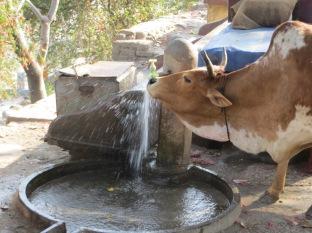 Alucinando nos quedamos al llegar y ver la soltura con la que la vaca bebía de la fuente... y más aún cuando nos contaron que sabían abrir el grifo por sí solas!! O_o
