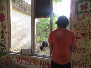 Vaca pastando en el ashram de los Beatles mientras preparo la GoPro